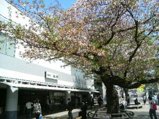 桜はまた来年。