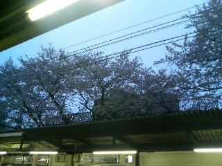 6年目の桜。